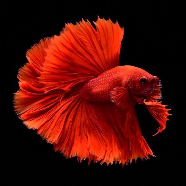 Красная боевая рыба. Premium Фотографии