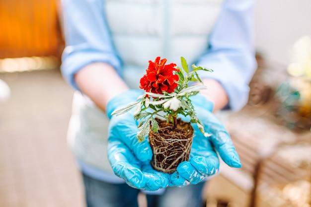 マリーゴールドの花をポットなしで保持している女性 Premium写真