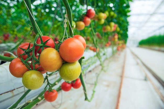 温室内の植物からぶら下がっている緑、黄、赤のトマト。 無料写真