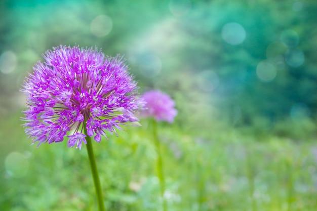夏の庭で自然な背景をぼかした写真のライラックネギの花 Premium写真