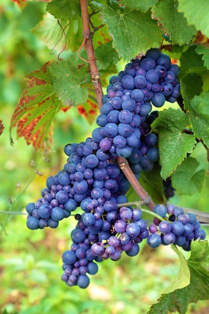 ブドウ畑で成長している赤ワイン用ブドウ 無料写真
