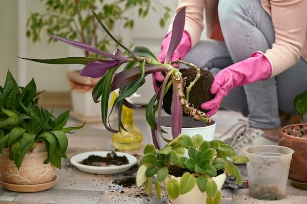 庭師は新しいポットに花を植えるピンクの手袋を手に。 。春の時間。 Premium写真