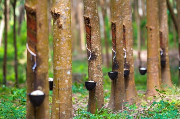 Каучуковое дерево и чаша заполнены латексом. Бесплатные Фотографии