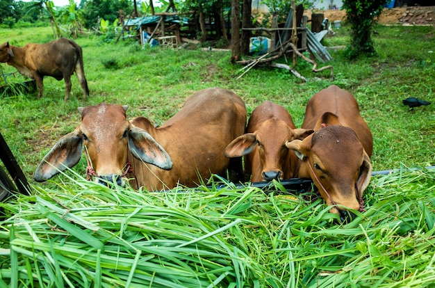 Коричневая корова ест траву Бесплатные Фотографии