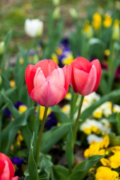 庭の赤いチューリップを閉じる 無料写真