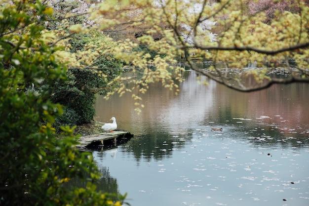 アヒルと湖 無料写真