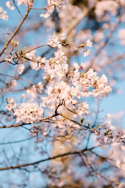 ピンクの桜の花と青い空 無料写真