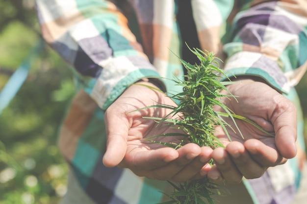 農家は彼らの農場でマリファナ(大麻)の木を持っています。 無料写真