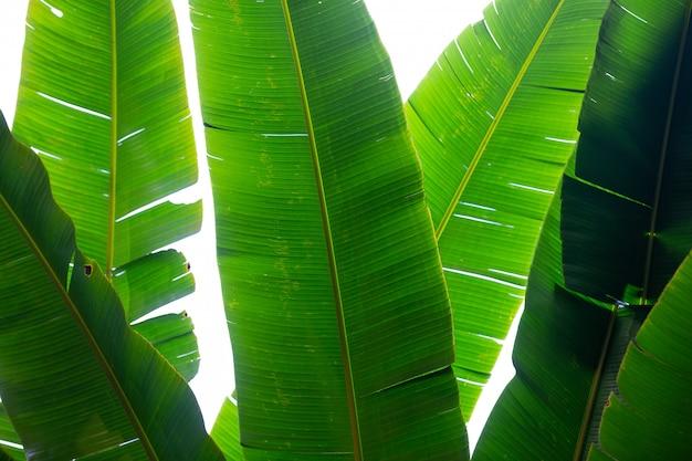 緑のバナナの葉、森の背景。 無料写真