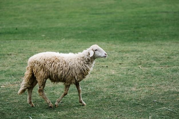公園の白い羊 無料写真