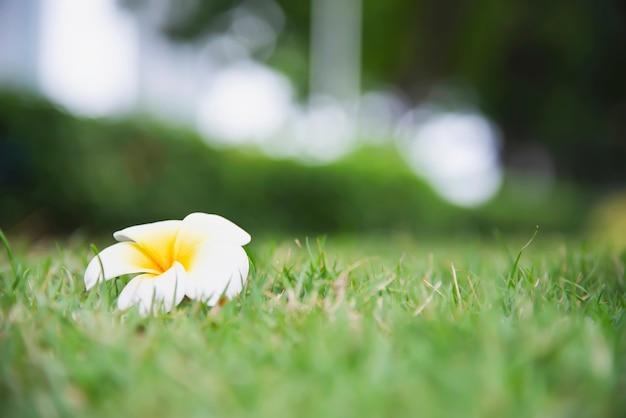 緑の芝生地面 - 美しい自然の概念にプルメリアの花 無料写真