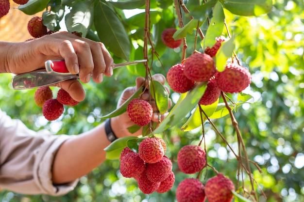Земледелие плодов личи в таиланде Бесплатные Фотографии