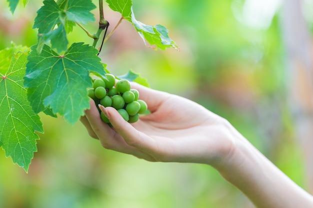木のブドウに触れる女性の手 無料写真