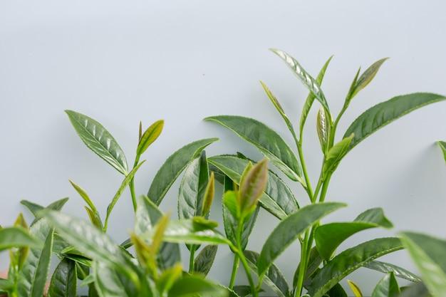 Предпосылка лист зеленого чая в плантациях чая. Бесплатные Фотографии