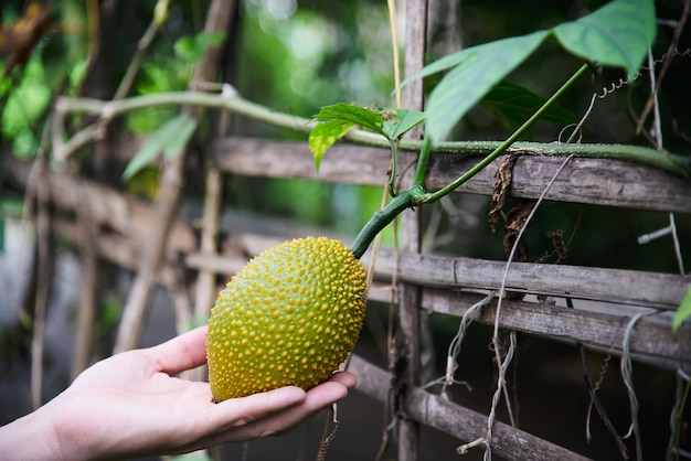 彼の有機農場-緑の地元の家の農業の概念を持つ人々の赤ちゃんジャックフルーツを保持している農家 無料写真