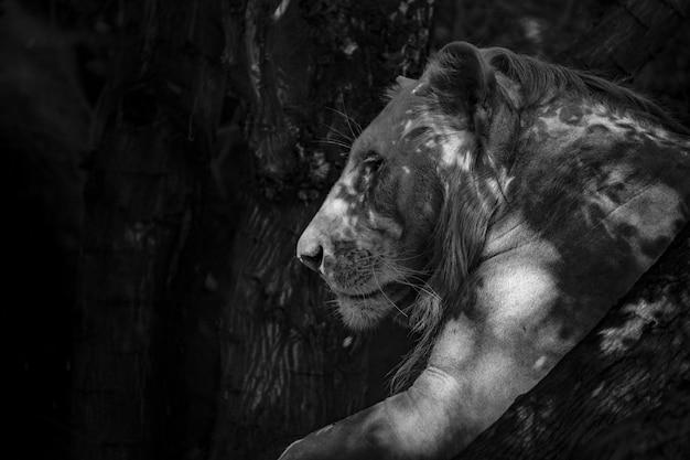 ライオン 無料写真
