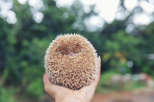 Европейский еж на руках в естественной среде обитания сада. Бесплатные Фотографии