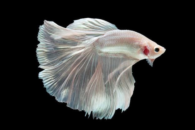 黒の背景にベタの戦いの魚。 無料写真
