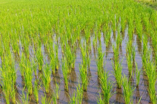 水田で成長している若い米 無料写真