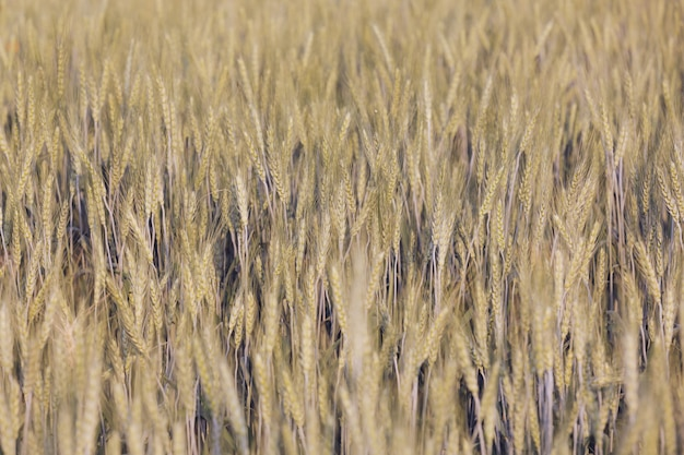 大麦フィールドの背景。 無料写真