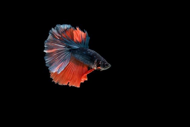 Красивая красочная сиамская рыба бетта Бесплатные Фотографии