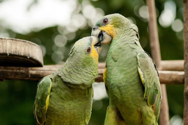 Пара попугаев любит поцелуй Premium Фотографии