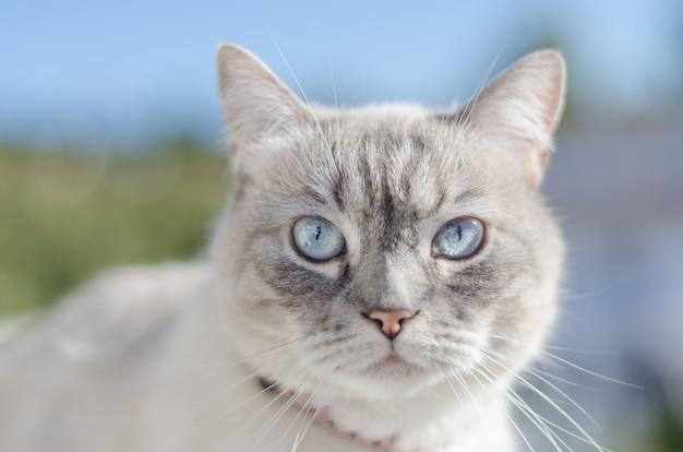 Голубые глаза кота фронтальный портрет Premium Фотографии