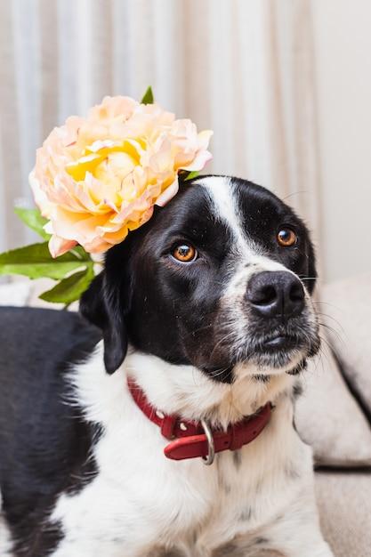 ニュートラルな色調のソファで花を身に着けている美しい黒と白の犬の肖像画 Premium写真