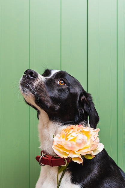 緑の木製の背景を持つスタジオで花を身に着けている美しい黒と白の犬の分離の肖像 Premium写真