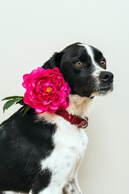 白い背景とスタジオでピンクの花を着て美しい黒と白の犬の分離の肖像 Premium写真