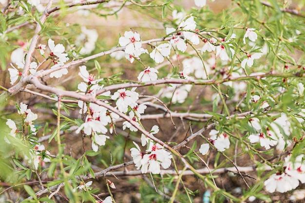Красивые цветы миндаля в дереве с зеленым фоном из листьев и ветвей весной Premium Фотографии