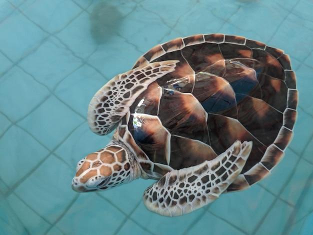 ウミガメは保護池で泳ぐ Premium写真
