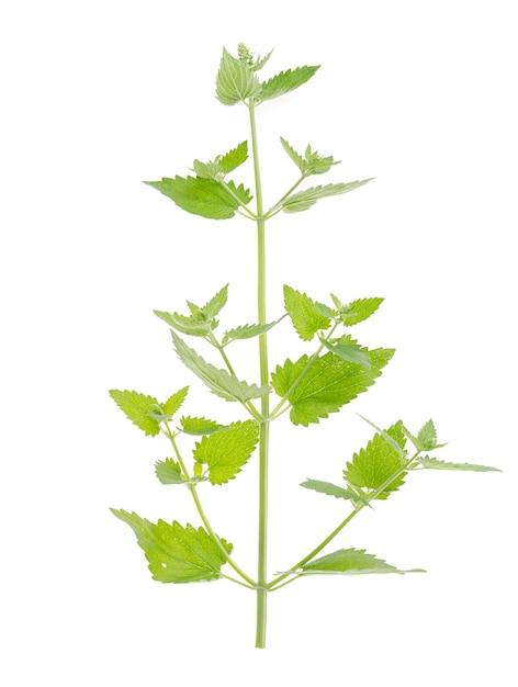 摘みたての白い背景で隔離の葉と緑のレモンバームガーデンブランチ Premium写真