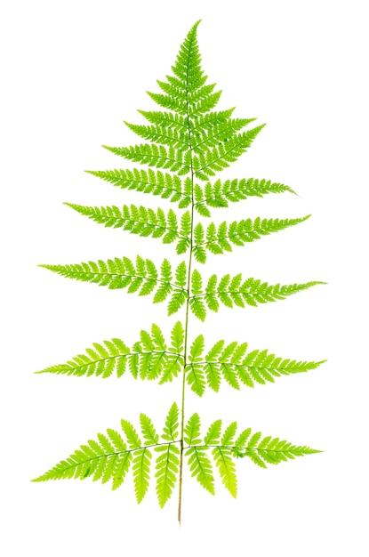 白い背景のシダの緑の葉。 Premium写真