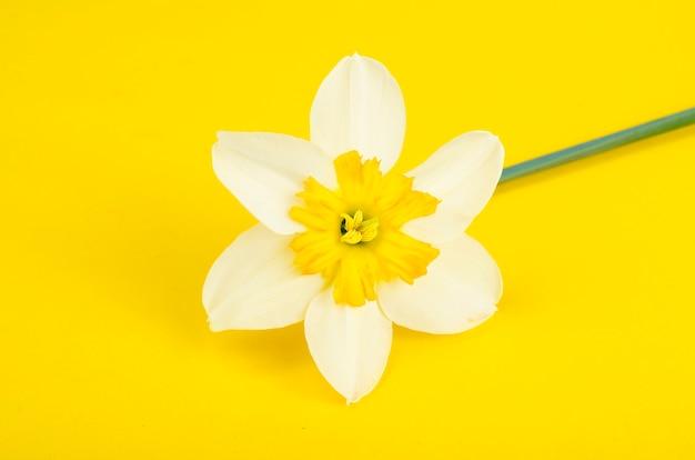 白と黄色の花びらを持つ水仙の花。 Premium写真