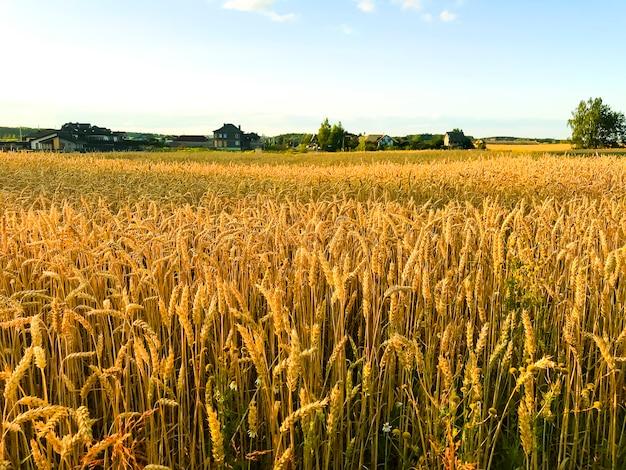 夕方、太陽のフィールドでライ麦のスパイク。 Premium写真