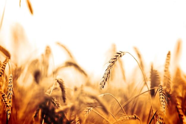 オレンジ色のトーンでの麦畑 無料写真