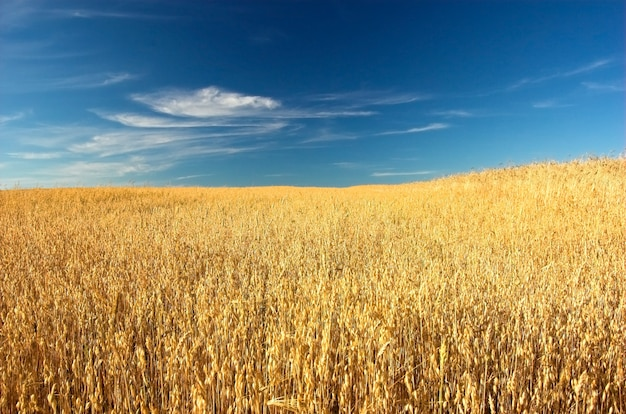 夏の小麦 無料写真