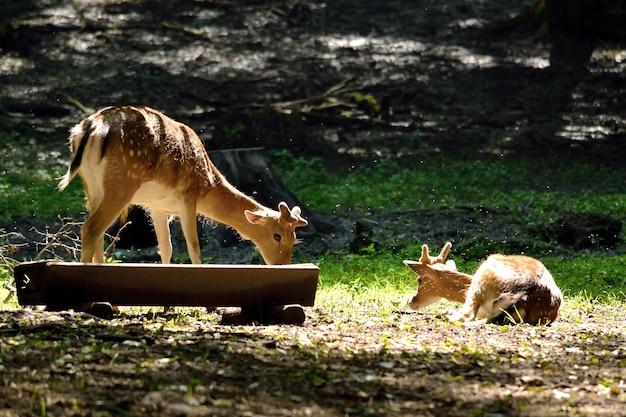 「自然に食べる鹿」 無料写真