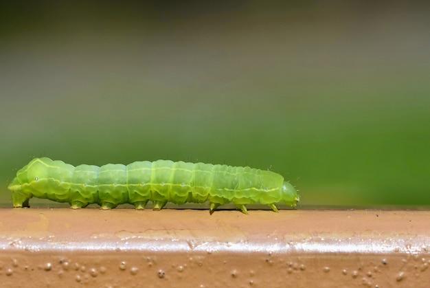 美しい小さな緑色のキャタピラー。昆虫のマクロショット。 無料写真