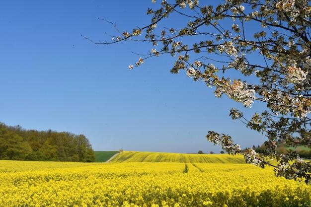 美しい咲く果物の木の枝。黄色の花畑、地上道と美しい谷、ナット 無料写真