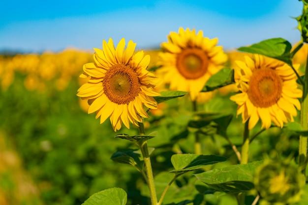 ひまわりは夏に暖かい天候で畑に熟します。 Premium写真