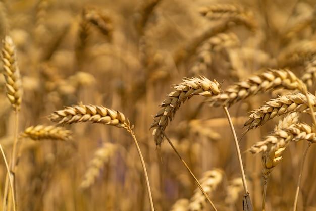 小麦の茎が畑の風に揺れます。閉じる Premium写真