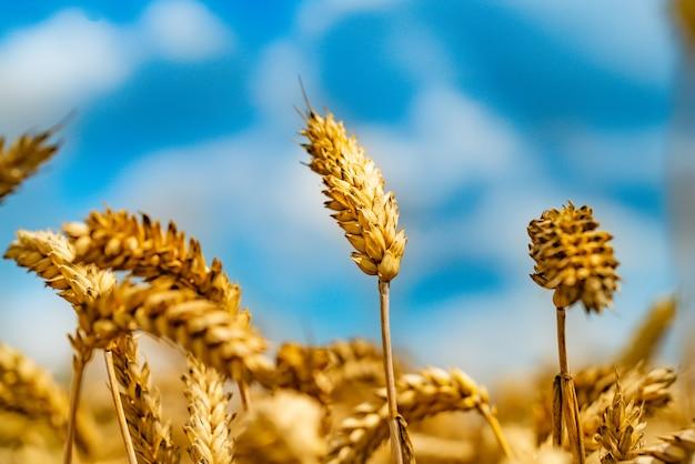 晴れた日に青空に小麦の茎が描かれています Premium写真
