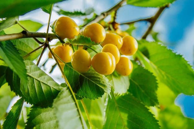 枝に熟した甘い黄色赤チェリーのクローズアップ Premium写真