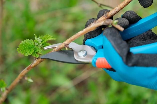 ラズベリーの春の剪定を行う手のクローズアップ Premium写真