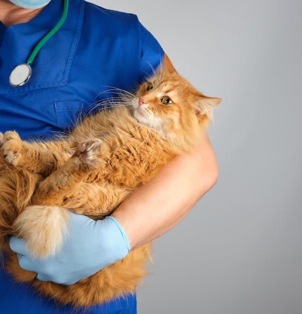 青い制服と大人の生姜猫を保持している手袋の男性獣医 Premium写真