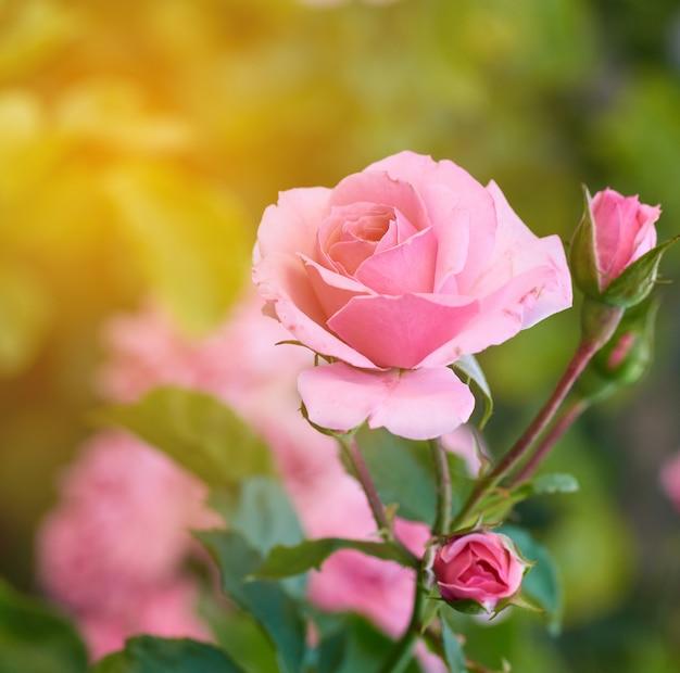 庭に咲くピンクのバラのつぼみ Premium写真