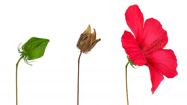 乾燥した茶色のハイビスカスシードボックス、咲くハイビスカスの芽と吹き飛ばさ Premium写真