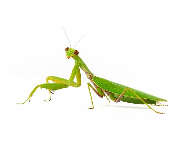 Большой зеленый богомол на белом Premium Фотографии